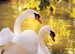 Swans of spiritual understanding.