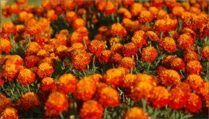 Abundance of flowers.