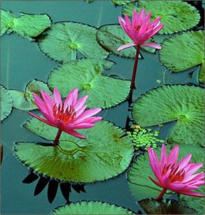 lillies on pond, Nature
